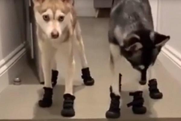 Husky indossa le scarpe per fare la passeggiata e intenerisce il web (video)