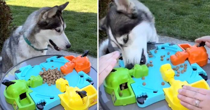Husky gioca