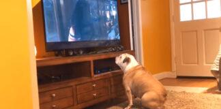 Bulldog guarda la tv