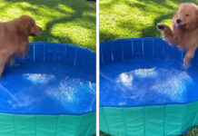 Golden Retriever in una piscina gonfiabile