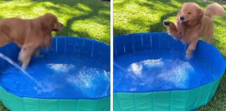 Golden Retriever in una piscina gonfiabile
