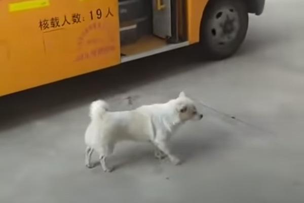 Il cagnolino ogni giorno accompagna la bambina allo scuolabus (video)