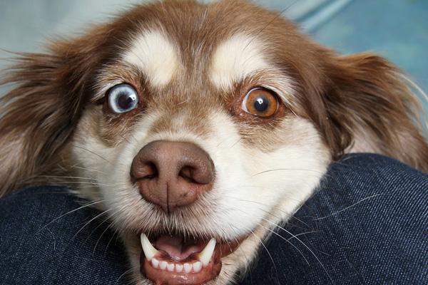 """Il cagnolino si """"lava i denti"""" con la barba del proprietario e il video conquista il web"""