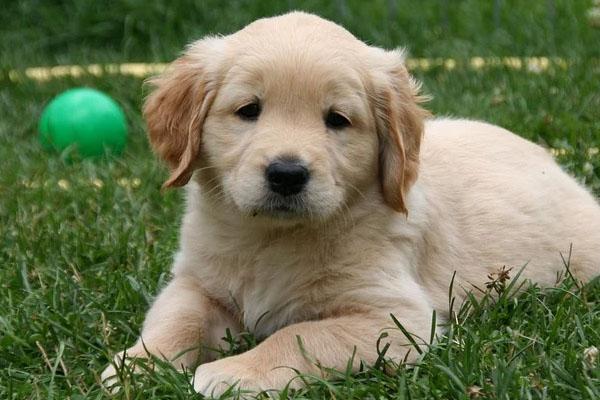 Il cucciolo di Golden Retriever non lascia che l'aspirapolvere robot rovini il suo pisolino (video)