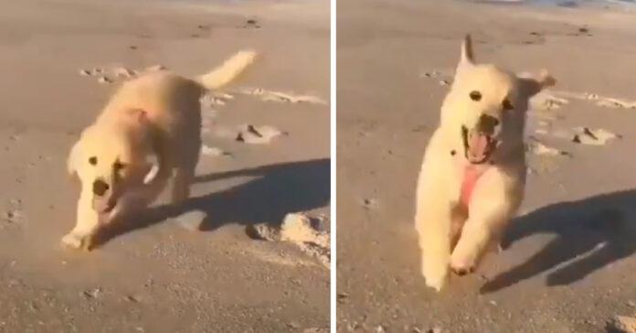 Cucciolo di Golden Retriever corre in spiaggia