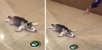 Cucciolo di Husky sdraiato