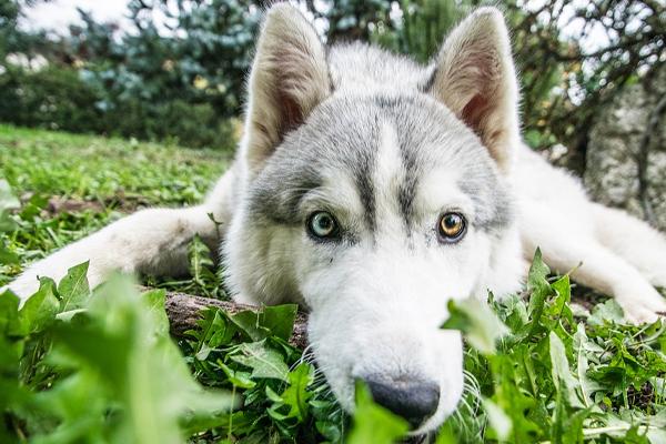 Il cucciolo di Husky è stanco e non vuole più camminare: la sua trovata è geniale (video)