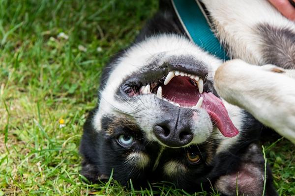 L'Husky sa come far smettere un bambino di piangere (video)