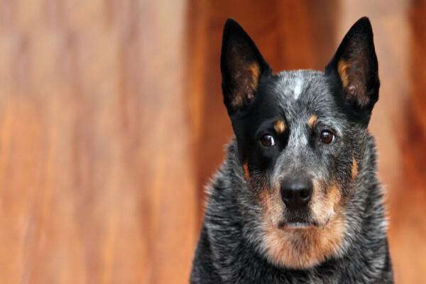 La seconda vita di Bella, Bolt e Bonnie, 3 Cattle Dog avventurosi