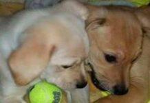 cani giocano con una pallina