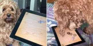 Labradoodle gioca con un Tablet