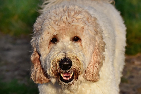 Labradoodle gioca con un Tablet e il video conquista il web