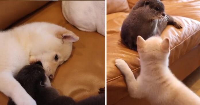 Lo Shiba Inu con una lontra
