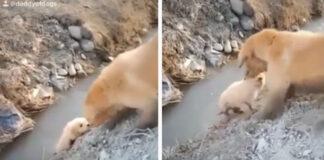 Golden Retriever aiuta il suo cucciolo