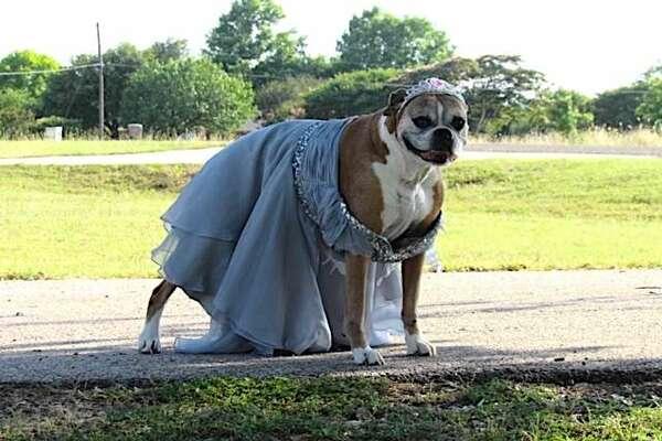 Reba, la cagnolina che ha accompagnato il suo padroncino al ballo della scuola