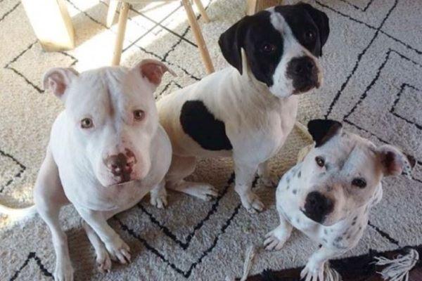 Riot, il Pitbull che fa il papà temporaneo per molti cuccioli in attesa di casa (video)
