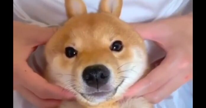 shiba inu sorride video