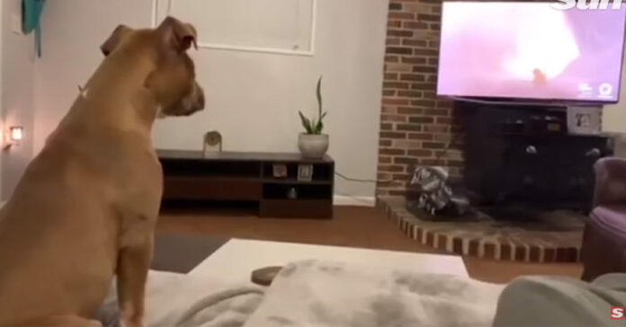 Cane guarda la tv