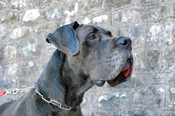 cane con le labbra pendenti