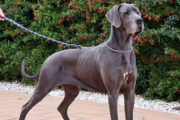 cane di taglia molto grande con il mantello grigio