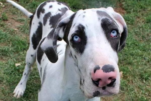 cane con gli occhi azzurri