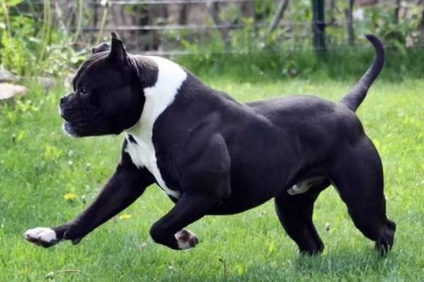 cane agile e potente