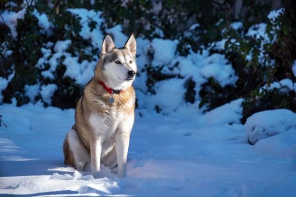 cane che riesce a vivere sulla neve