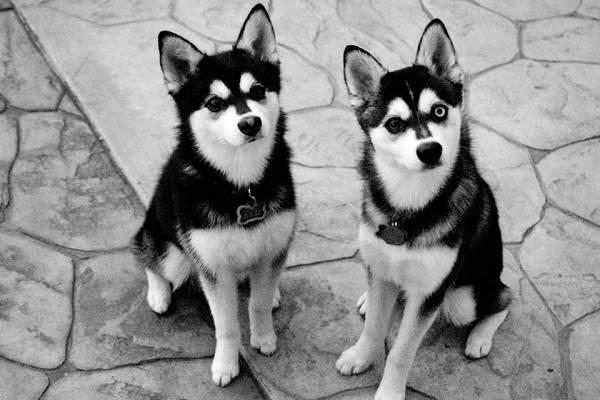 Alaskan Husky e Alaskan Klee Kai: quali sono le differenze?