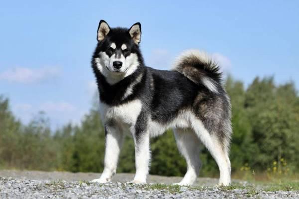 cane nordico con il pelo folto e lungo