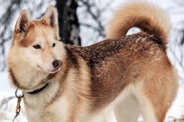 esemplare di alaskan husky con il pelo rossiccio