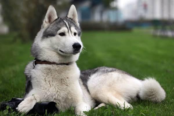 cane con il mantello bianco e grigio
