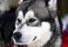 un esemplare di alaskan husky