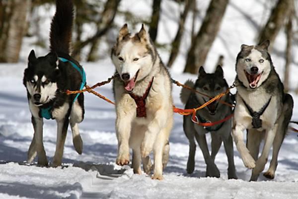 addestrare i cani da slitta