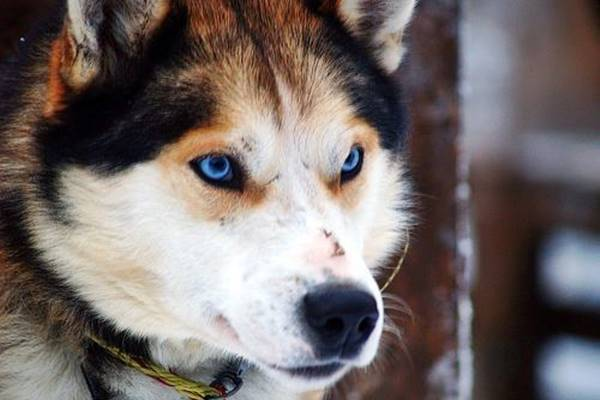 cane con gli occhi blu