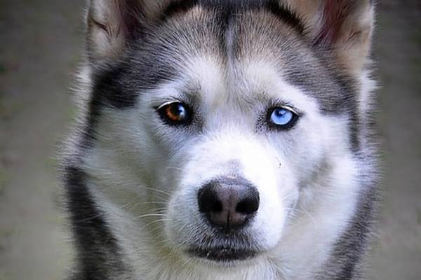 siberian husky può avere occhi di colori diversi