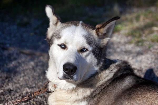 alaskan simile al siberian husky