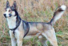 caratteristiche dell'alaskan husky
