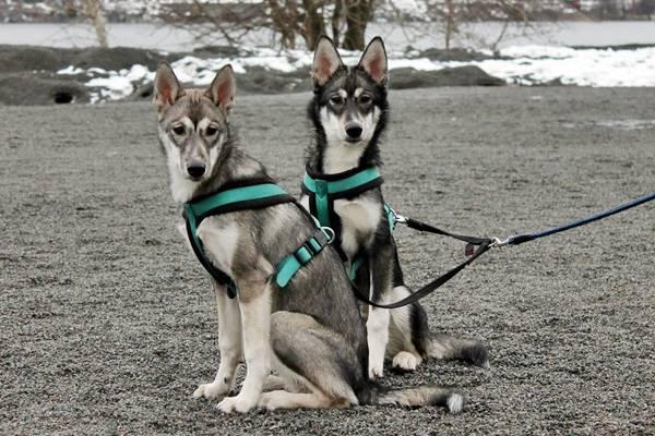 due alaskan husky addestrati per il traino