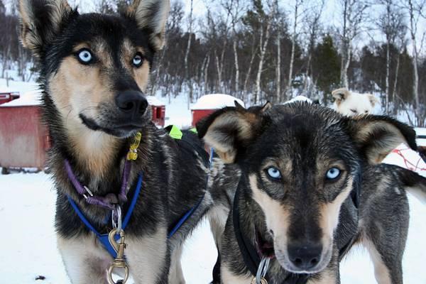 cani con gli occhi blu