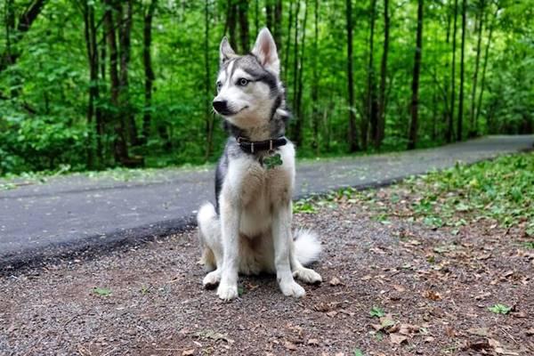 Alaskan Klee Kai, carattere e temperamento di questo cane