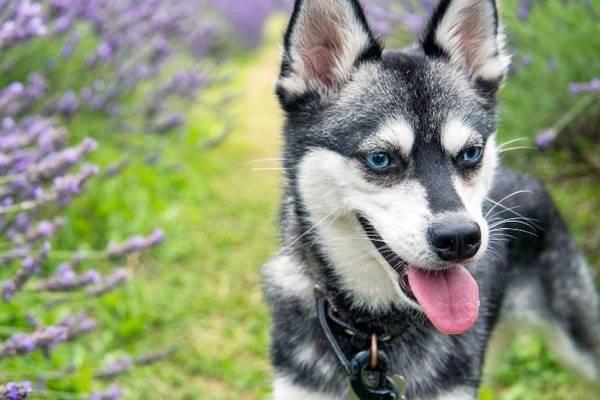 Alaskan Klee Kai: foto dolci, buffe e divertenti di questo cane