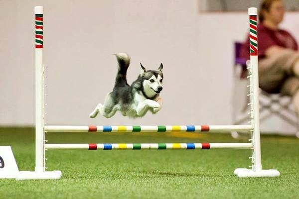cane bravo negli sport di agility