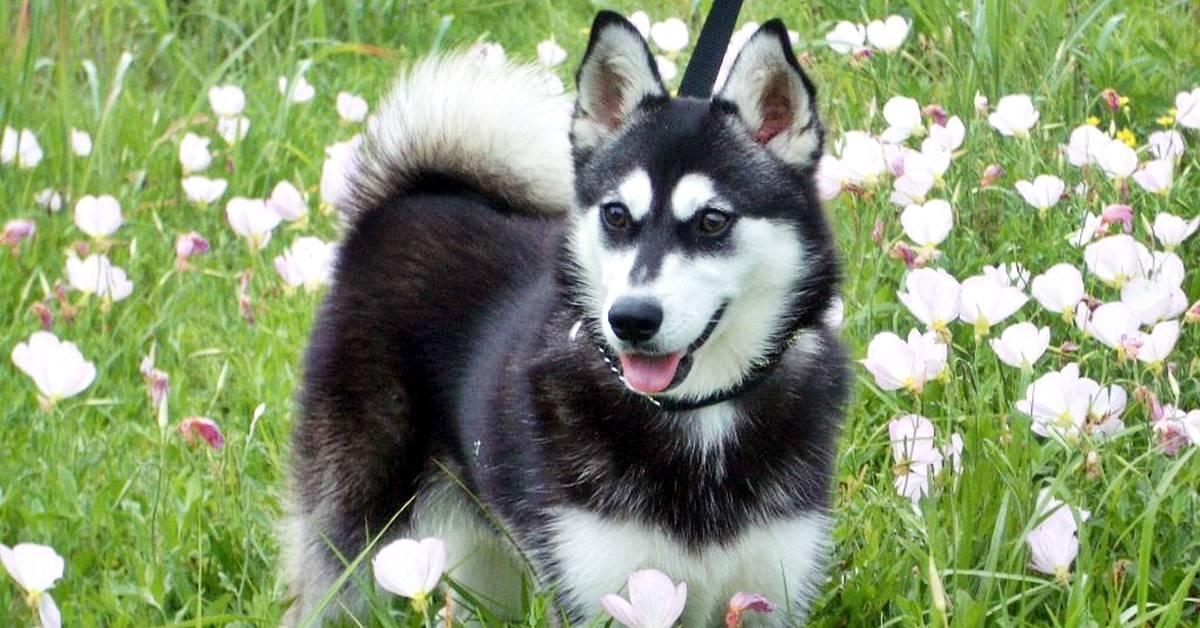 un husky in miniatura