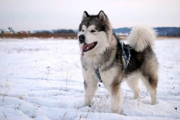 cane dal fisico possente
