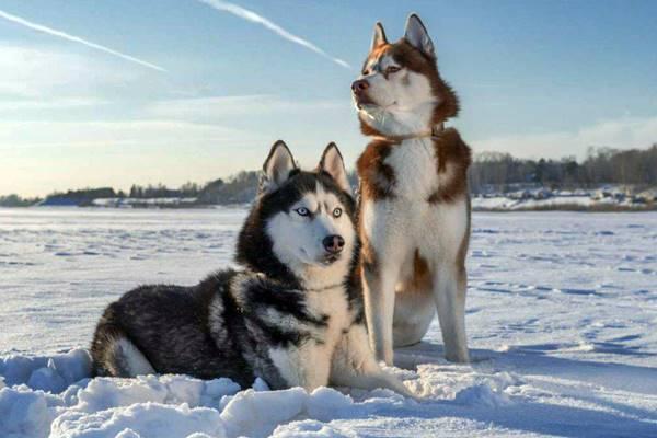 due esemplari di siberian husky