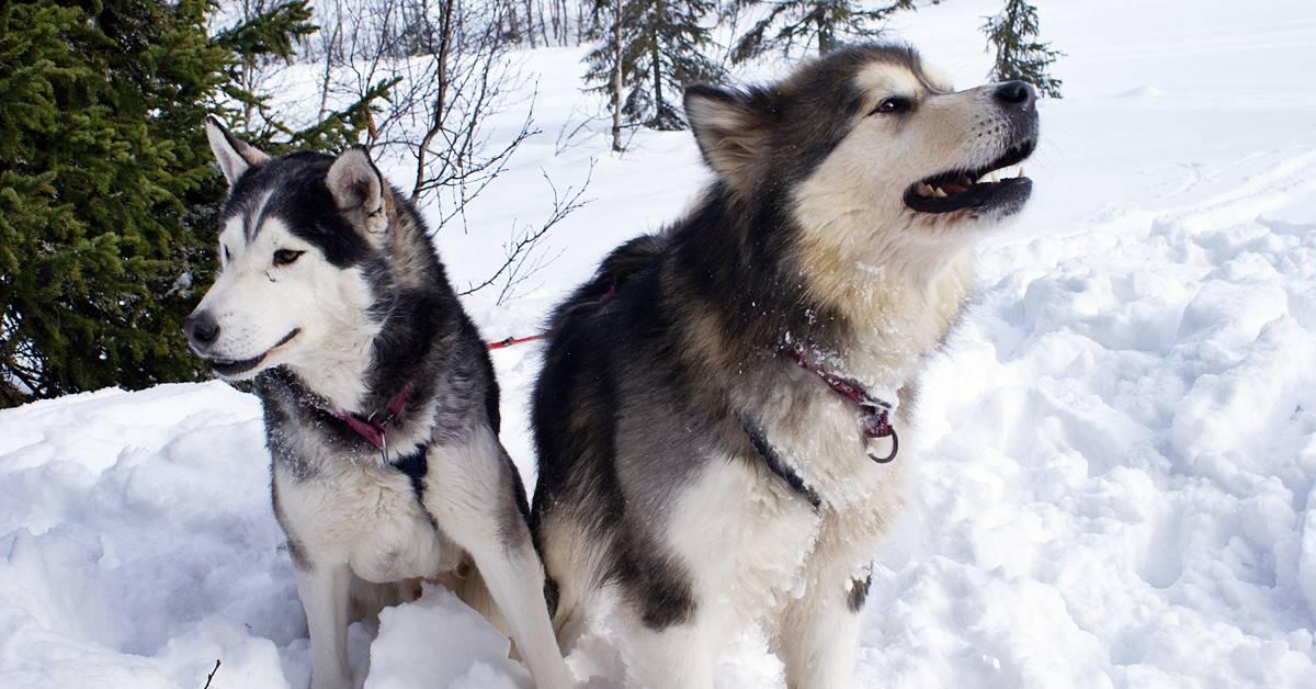 cani del grande nord