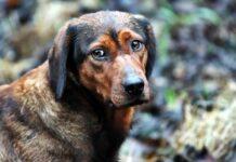 sguardo dolce del cane