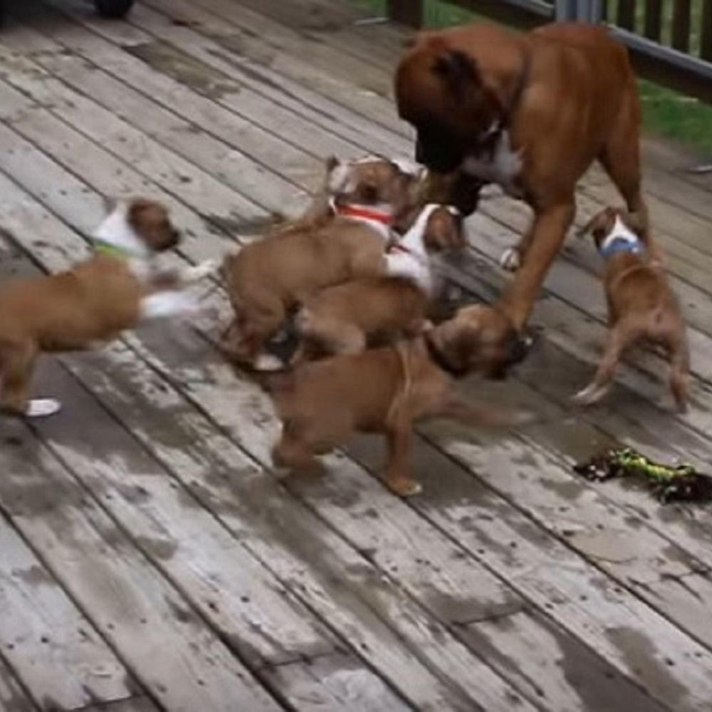 Boxer imbarazzato non sa come reagire alla vista dei cuccioli (VIDEO)