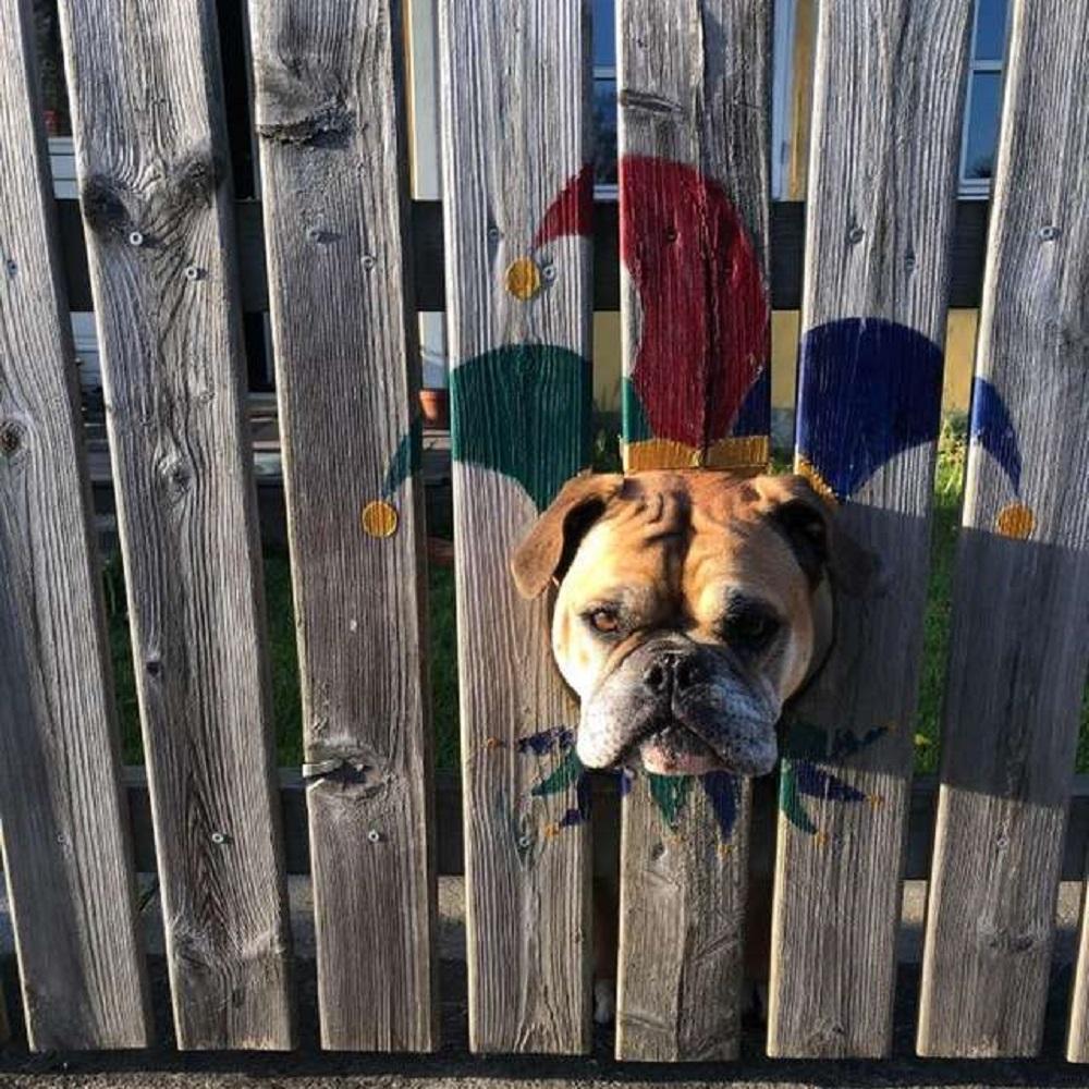 Bulldog curioso spia attraverso il buco nel recinto (VIDEO)