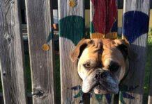 bulldog curioso spia attraverso recinzione